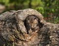 Baby bobcat peeking out of log little coming a hole in a Royalty Free Stock Photo
