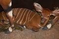 Baby Bongo Antelope