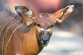 Baby bongo a male close up Royalty Free Stock Photo