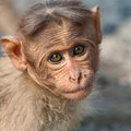 Baby Bonnet Macaque Portrait Stock Photos