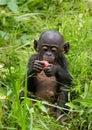 A baby bonobo is eating something.. Democratic Republic of Congo. Lola Ya BONOBO National Park. Royalty Free Stock Photo
