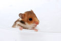 Baby brown black hamster peep Royalty Free Stock Photo