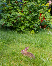 Baby bunny in the garden young rabbitt and red currants Stock Image