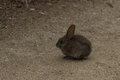 Baby bunny rabbit, Sylvilagus bachmani, wild brush rabbit on a hiking path in Irvine, Southern California in Spring Royalty Free Stock Photo