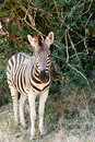 Baby Burchell's Zebra looking all alone. Royalty Free Stock Photo