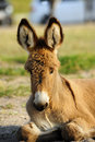 A baby burro resting with his ears perked up at custer state park south dakota Royalty Free Stock Images