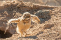 Baby burrowing owl chick strutting and flapping wings outside burrow Royalty Free Stock Image