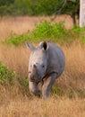 Baby calf white rhinoceros Royalty Free Stock Photo