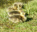 Baby canadian geese Royalty Free Stock Photo
