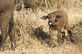 Baby Cape Buffalo, South Africa Royalty Free Stock Photo