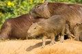 Baby Capybara Looking Precariously over the Edge Royalty Free Stock Photo