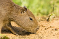 Baby Capybara Sniffing Ground, Close-up Royalty Free Stock Photo