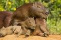 Baby Capybara Struggling to Sit Up Royalty Free Stock Photo