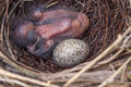 Baby cardinal bird and egg in a nest lays it s beside brown speckled Stock Image