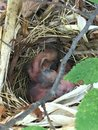 Baby Cardinals In A Nest