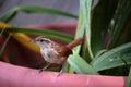 Baby Carolina wren Royalty Free Stock Photo
