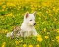 Baby Cat And Dog Lying Together On The Lawn Of Dandelions
