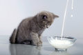 Baby cat gray look to the milk in glass bowl Royalty Free Stock Photo