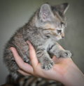 Baby cat how smole is little kitty kitty in children hand Stock Image