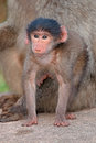 Baby chacma baboon cute papio hamadryas with its mother south africa Stock Image