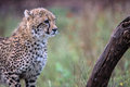 Baby Cheetah in Kruger National Park Royalty Free Stock Photo