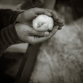 Baby chick chicken held in hands Royalty Free Stock Photography