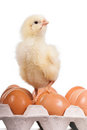 Baby chick on  eggs in egg carton Royalty Free Stock Photo