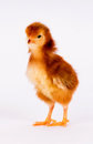 Baby Chick Newborn Farm Chicken Standing White Rhode Island Red Royalty Free Stock Photo