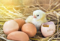 Baby chicken with broken eggshell in the straw nest Royalty Free Stock Photo