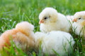 Baby chicken in grass Stock Images