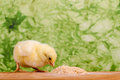Baby chicken having a meal in front of green background Stock Photos