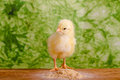 Baby chicken having a meal in front of green background Royalty Free Stock Image