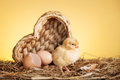 Baby chicken in nest Royalty Free Stock Photo