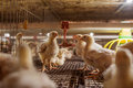 Baby chicken in poultry farm Royalty Free Stock Photo