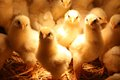 Baby chickens chicks standing under a warming light Royalty Free Stock Image