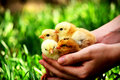 Baby chickens in human hands with blure background Stock Images