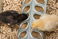 Baby chicks being raised in pen Royalty Free Stock Photo