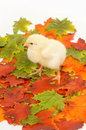 Baby chicks in fall leaves Royalty Free Stock Photo