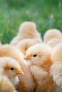 Baby chicks little buff orpington sitting huddled together in the grass extreme shallow depth of field selective focus on center Stock Photos