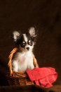Baby chihuahua in a basket Royalty Free Stock Images