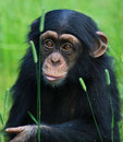 Baby chimp Royalty Free Stock Image