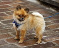 Baby chow chow standing in the street while looking away Royalty Free Stock Image