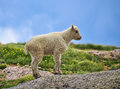Baby Colorado Mountain Goat Stock Photography
