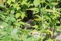Baby common blackbird in a garden Royalty Free Stock Photo