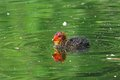 Baby coot swimming in pond of green water with reflections Royalty Free Stock Image