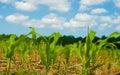 Baby Corn Shoots