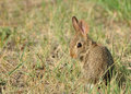 Baby Cottontail Rabbit Stock Photos