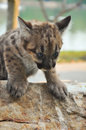 Baby cougar cougars are born after about days of gestation Stock Photos