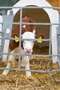 Baby cow calf in a cage Royalty Free Stock Photo