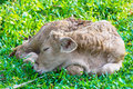 Baby cow in green field Royalty Free Stock Photo